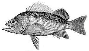 Rockfish | Traditional Animal Foods of Indigenous Peoples of
