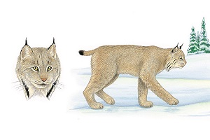 Lynx and Bobcat   Traditional Animal Foods of Indigenous Peoples of