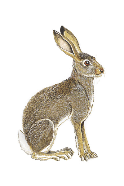 Rabbits and Hares | Traditional Animal Foods of Indigenous Peoples ...